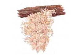 Hericium – Korálovec ježovitý